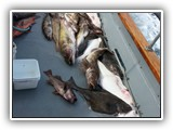 Halibut, Ling Cod and Rockfish